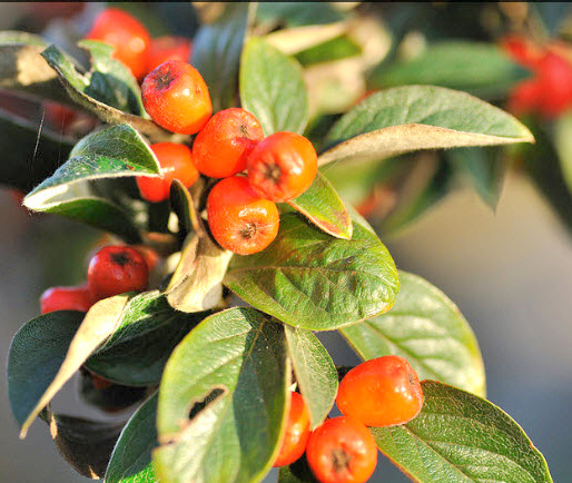 Cotoneaster – Cotoneaster Fraanchetii